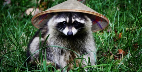 raccoon-in-hat