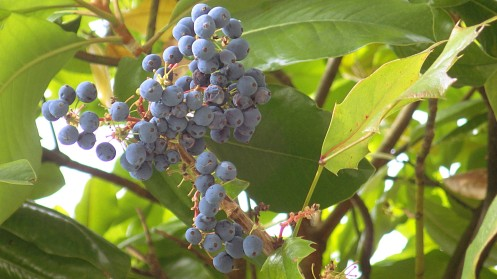 blue-tree-berry-02