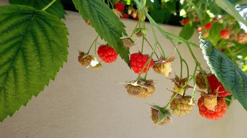 It's probably better to take the photo before you pick almost all the raspberries.