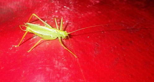 ringo-the-drumming-katydid-02