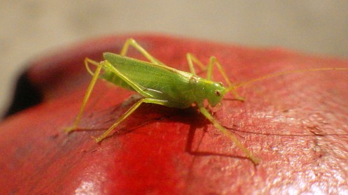 ringo-the-drumming-katydid-03
