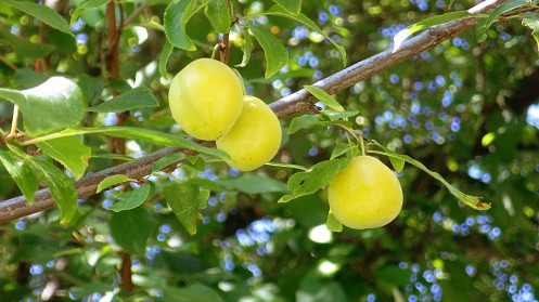 unripe-plums