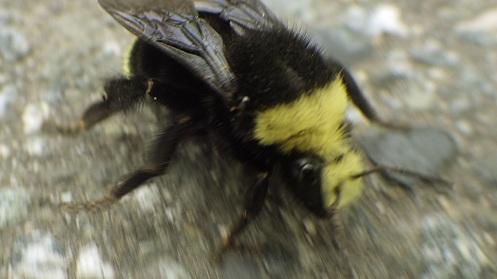 cofused-bee-03