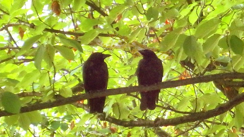 Crows on a tree branch