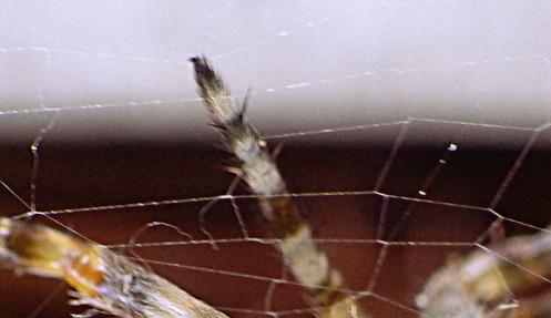 euro-spider-detail-03