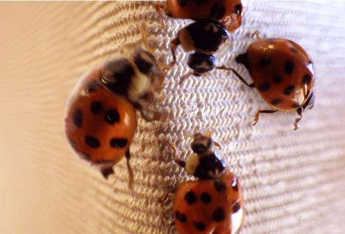ladybug-ladybug