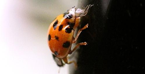 ladybug-on-laptop-01