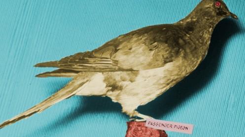 A stuffed passenger pigeon. -- public domain