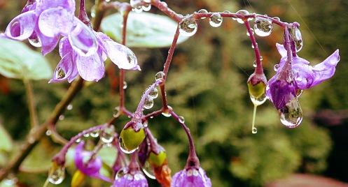 wet-wee-purple-flowers