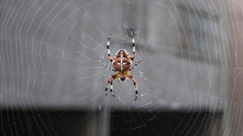 fat-euro-garden-spider-02