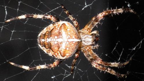 fat-euro-graden-spider-01
