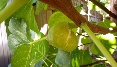 This fig, droopingly soft, with cracking skin, is ripe.