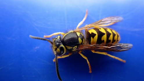 wasp-in-fall