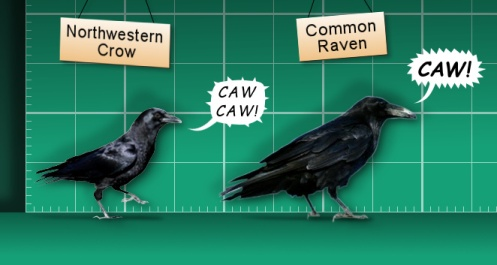 crow-raven-lineup