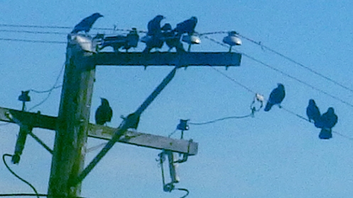 lazy-crows