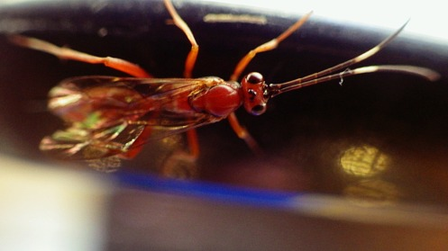 armed-brown-wasp-02
