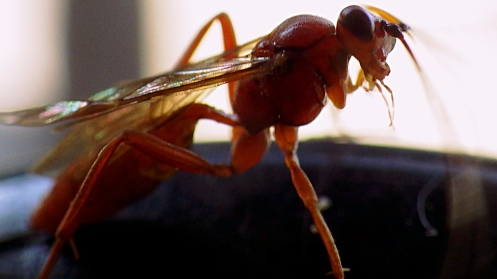armed-brown-wasp-03