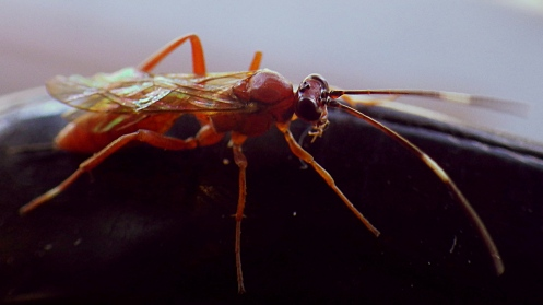 armed-brown-wasp-04