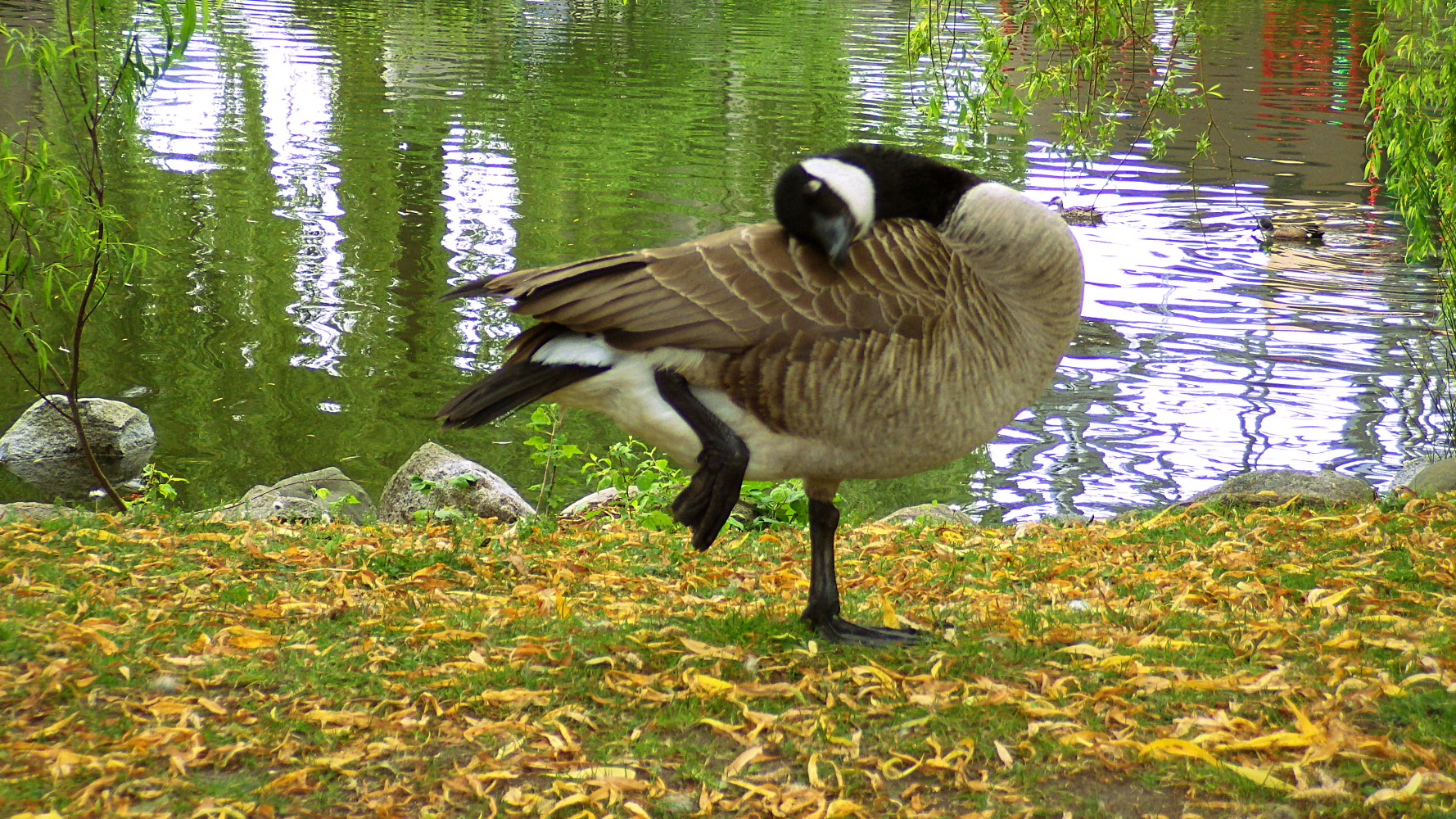 how to clean canada goose patch