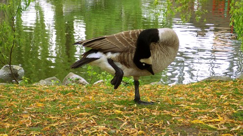 canada-goose-cleaning-02
