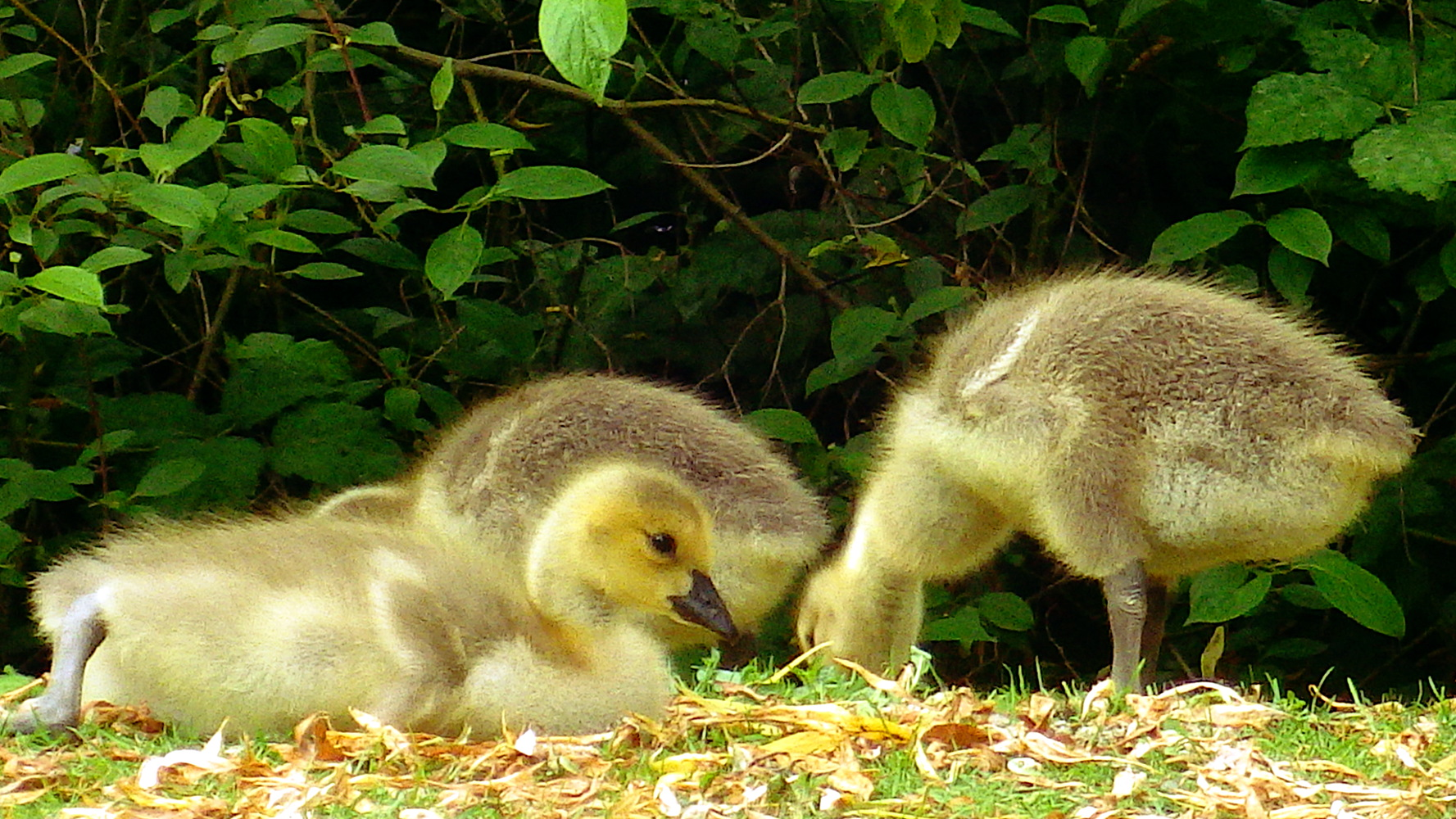 Visiting the island of kids, cars and Canada geese   sqwabb