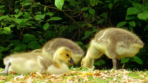 canada-goslings