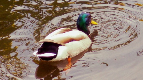 "A mallard comes back up after ""dabbling"" (tipping its head into the water after food)."
