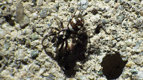 hot-zebra-spider-01