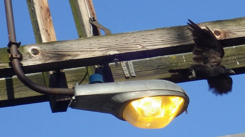 utility-pole-crow