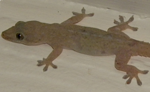 A common Austrailian house gecko walks the walk. -- public domain