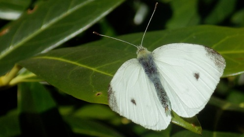 cabbage -white-butterfly-01
