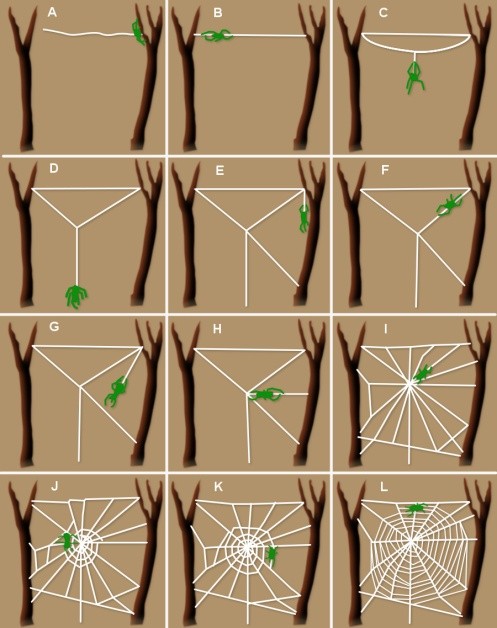 Basic orb web construction. -- adapted from NASA