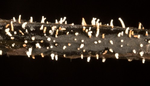 Fruiting bodies of the Hymenoscyphus pseudoalbidus fungus.