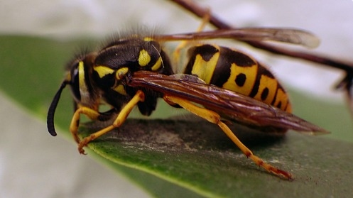 first-wasp-of-2016-03