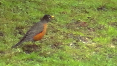 Apropos of nothing, a robin, bob-bob-bobbin' for grubs.