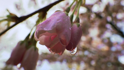 A reminder of the earlier morning rain on a tree blossom along Manitoba Street.