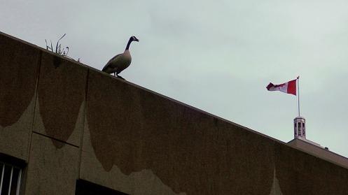 canada-goose-flag-01