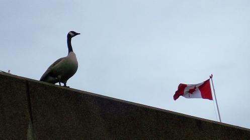 canada-goose-flag-02