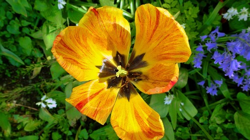 fiery-tulip-01