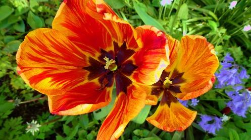 fiery-tulip-02