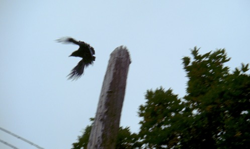 crow-vs-squirrel-05