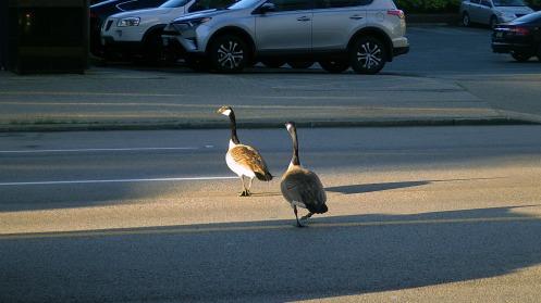 good-morning-geese