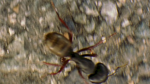 Probably a carpenter ant—as long as a thumbnail—solo forraging in a parking lot.