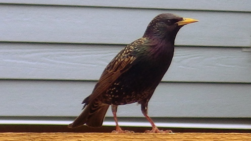 A sharp-looking starling strikes a pose.