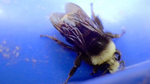 bumblebee-02