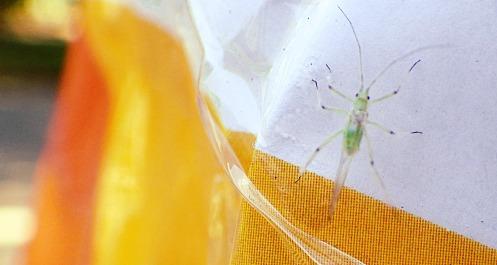 green-bug-02